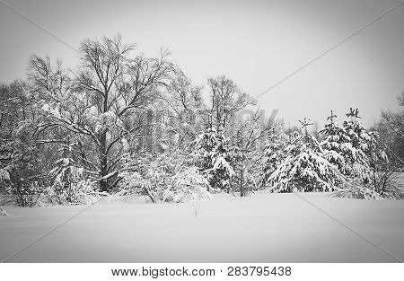 Trees And A Lot Of Snow On A Winter Day Black And White
