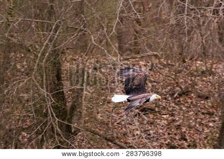 An American Bald Eagle Hunting The Waters Of The Pensacola Dam Located In Langley, Oklahoma 2019