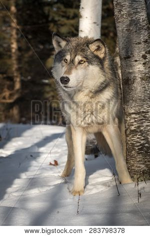 Grey Wolf (canis Lupus) Makes Step Forward Winter - Captive Animal