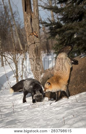 Silver Fox (vulpes Vulpes) Jumps Down Next To Silver Fox Winter - Captive Animals