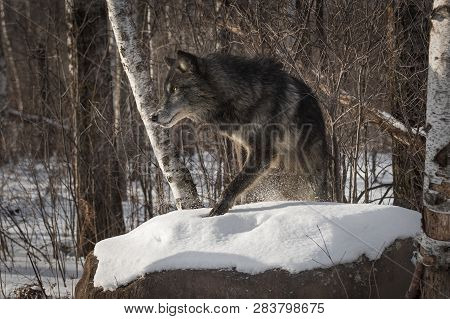 Black Phase Grey Wolf (canis Lupus) Steps Up On Rock Winter - Captive Animal