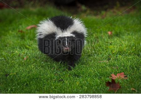 Striped Skunk (mephitis Mephitis) Steps Directly Forward Autumn - Captive Animal