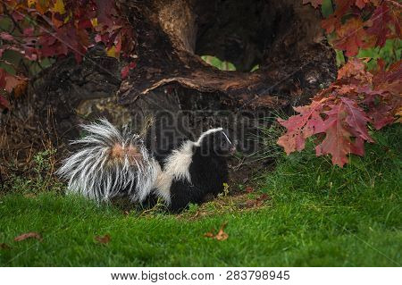 Striped Skunk (mephitis Mephitis) Turns Back From Log Autumn - Captive Animal