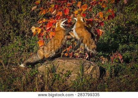 Two Red Foxes (vulpes Vulpes) Fight Atop Rock Autumn - Captive Animals