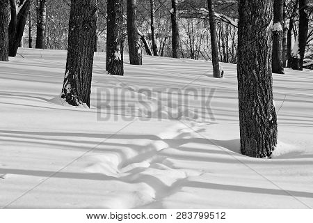 Footprints In The Snow Among The Trees Black And White