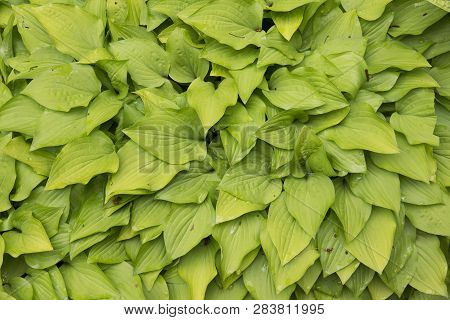 Natural Background Texture Of Overlapping Hosta Leaves