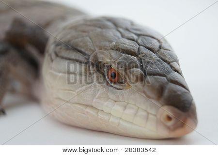 Blue Tongue Skink