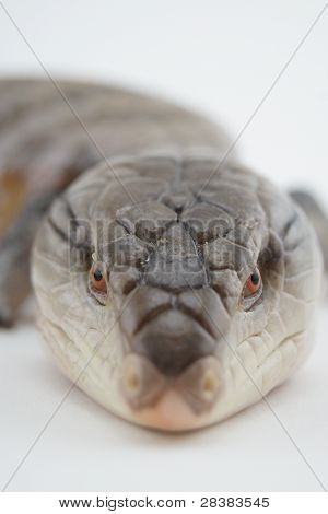 Australian Blue Tongue Skink Close Up
