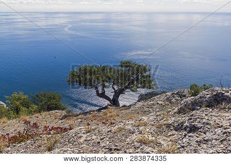 Relict Juniper Tree (juniperus Excelsa) On A Cliff Above The Sea. Novyy Svet, Crimea, Sunny Day In S