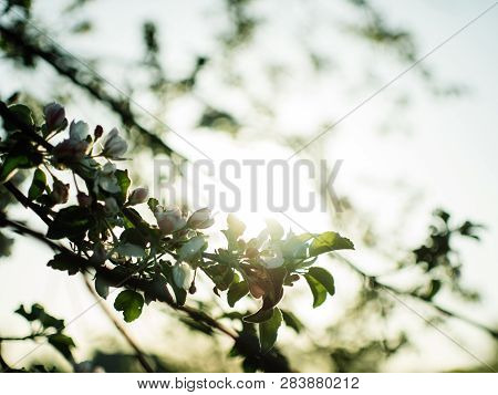 Blossom Fruits In April. Gentle Sunset Concept