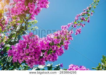 Delightful lush flowers in sunlight against blue sky. Botanical garden on a sunny day. Concept of the ecology. Soft focus effect. Scenic image of flowering orchard in spring time. Beauty of earth.