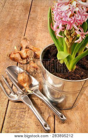 Hyacinth flowers and bulbs on wood table
