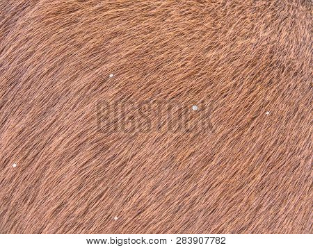 Horse With Winter Fur, Acclimated Animal In Great Condition And Good Health