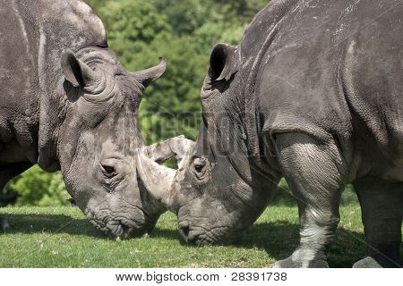 two rhino's meeting horn to horn on grass poster