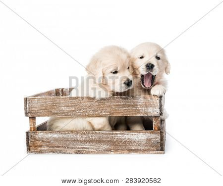 Cute four funny golden retriever puppies in basket isolated on white background