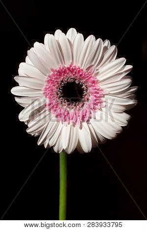 Portrait Of Pastel Rosa Gerbera Flower On The Black Background. Macro Photography Of Nature.