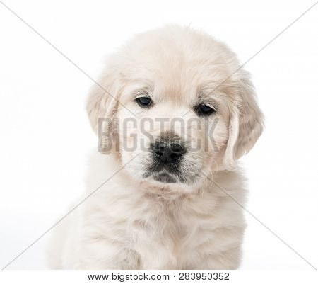 Closeup of cute golden retriever puppy isolated on white background
