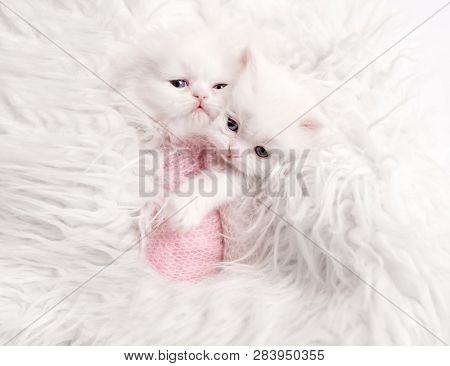 two newborn Scottish fluffy kittens on white fur