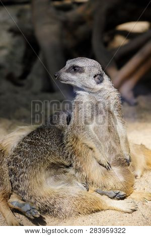Full Body Of Sitting Wild African Meerkat. Photography Of Nature And Wildlife.