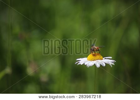 Bee On The Chamomile Flower. Bee Eat Pollen Of Flower. Bee On White Flower. Spring Single Daisy Flow