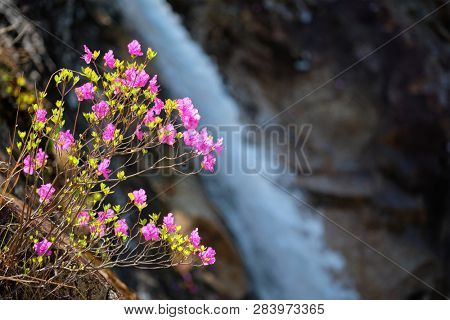 Rhododendron Mucronulatum Korean Rhododendron flower with Biryong Falls Waterfall in Seoraksan National Park, South Korea poster