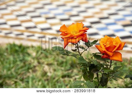 Orange Roses Growing Against Tile Background In Morocco
