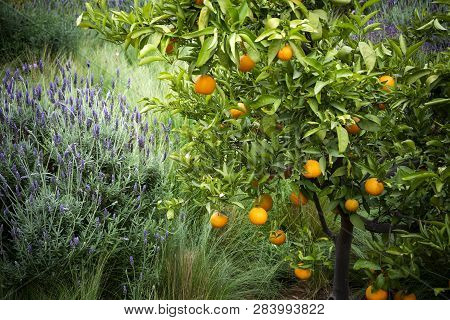 Oranges And Lavender Growing Alongside Each Other In Morocco