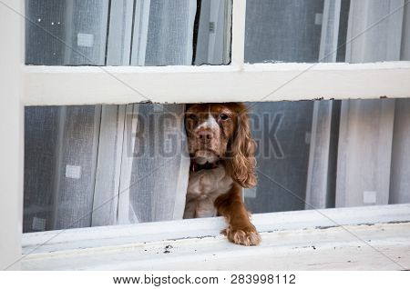 Brown Dog Looks Out Of The Window And Is Waiting For The Owner.