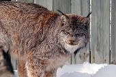 Close-up picture of a canada Lynx in captivity poster