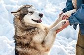 A smiling dog gives its paws to its owner. Friendliness and gratitude of animals poster