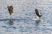 The Flying Predatory Seagulls near Rausu in Shiretoko, Hokkaido of Japan. poster