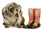 dirty dog and muddy boots - english bulldog sitting beside rubber boots on white background poster