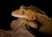 A female crested gecko stares over a jagged cliff at night. poster