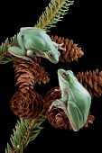 Two green tree frogs are playing on pine cones. poster