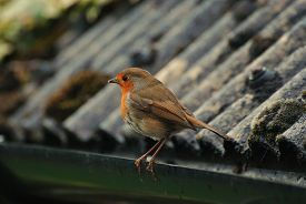 A Robin (erithacus Rubecula) Stands On A Gutter, About To Fly Away. Taken In Upton-by-chester, Engla