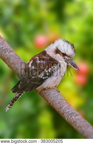 Kookaburras, Terrestrial Tree Kingfishers Of The Genus Dacelo
