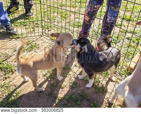 Acre, Israel, January 3, 2016 : Small Dogs With Owners At A Dog Festival - Competition In The City O