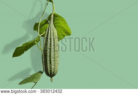 Angled Luffa Gourd Or Angled Loofah Isolated On Green Wall Background.
