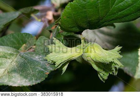 Photo Of Various Fruits, Hazel Tree And Unripe Hazel