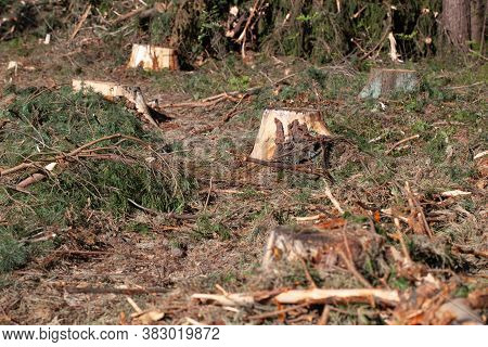 Deforestation Concept. Stump Of Tree After Cutting Forest. Stump From Fresh Cut Coniferous Tree In F
