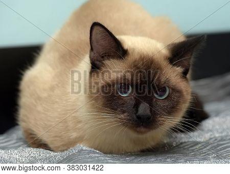 Sad Scared Siamese Cat