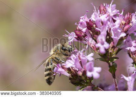 Honey Bee (apis Mellifera) On Oregano (origanum Vulgare)