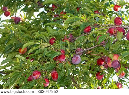 Plum Tree And Ripe Natural Plum Photos