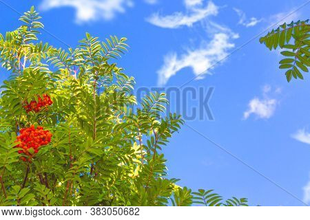 Rowan Berries, Sorbus Aucuparia, Tree Mountain Ash. Autumn Landscape With Bright Colorful Foliage. I