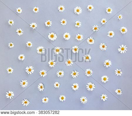 White Chamomiles, Marguerites On A Gray Paper Background. Top View, Flat Lay