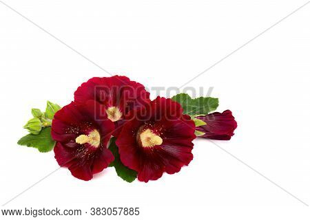 Bouquet Of Red Flowers Malva (alcea Rugosa, Hollyhock) On A White Background With Space For Text