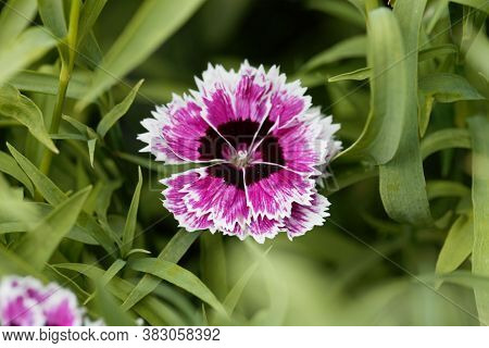 Flower Of A Rainbow Pink, Dianthus Chinensis.