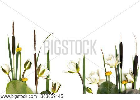 Aquatic Plants Which Grows In Wetlands: Bulrush (typha, Or Reedmace, Cattail,  Cumbungi), Water Lili