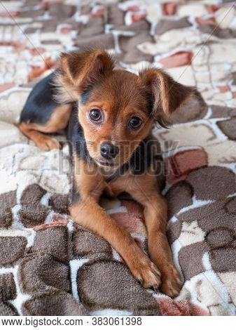 Toy Terrier, Close Up. Russian Toy Terrier Dog On A Spotted Background.