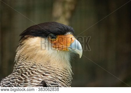 Portrait Of A Bird Of Prey With A Dark Head And A Light Beak, Naturalistic Image Of An Animal